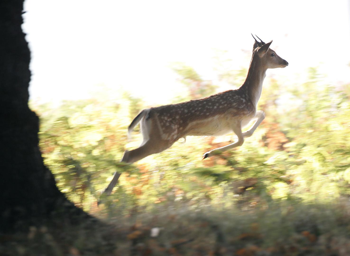 Fallow Deer Buck