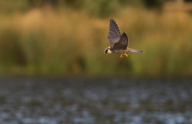 Hobby with dragonfly