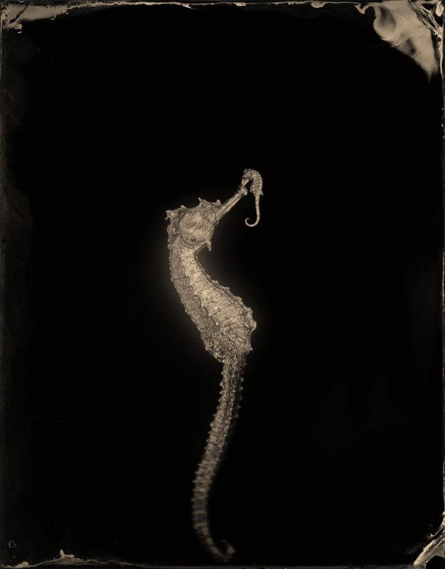 Hippocampus #23