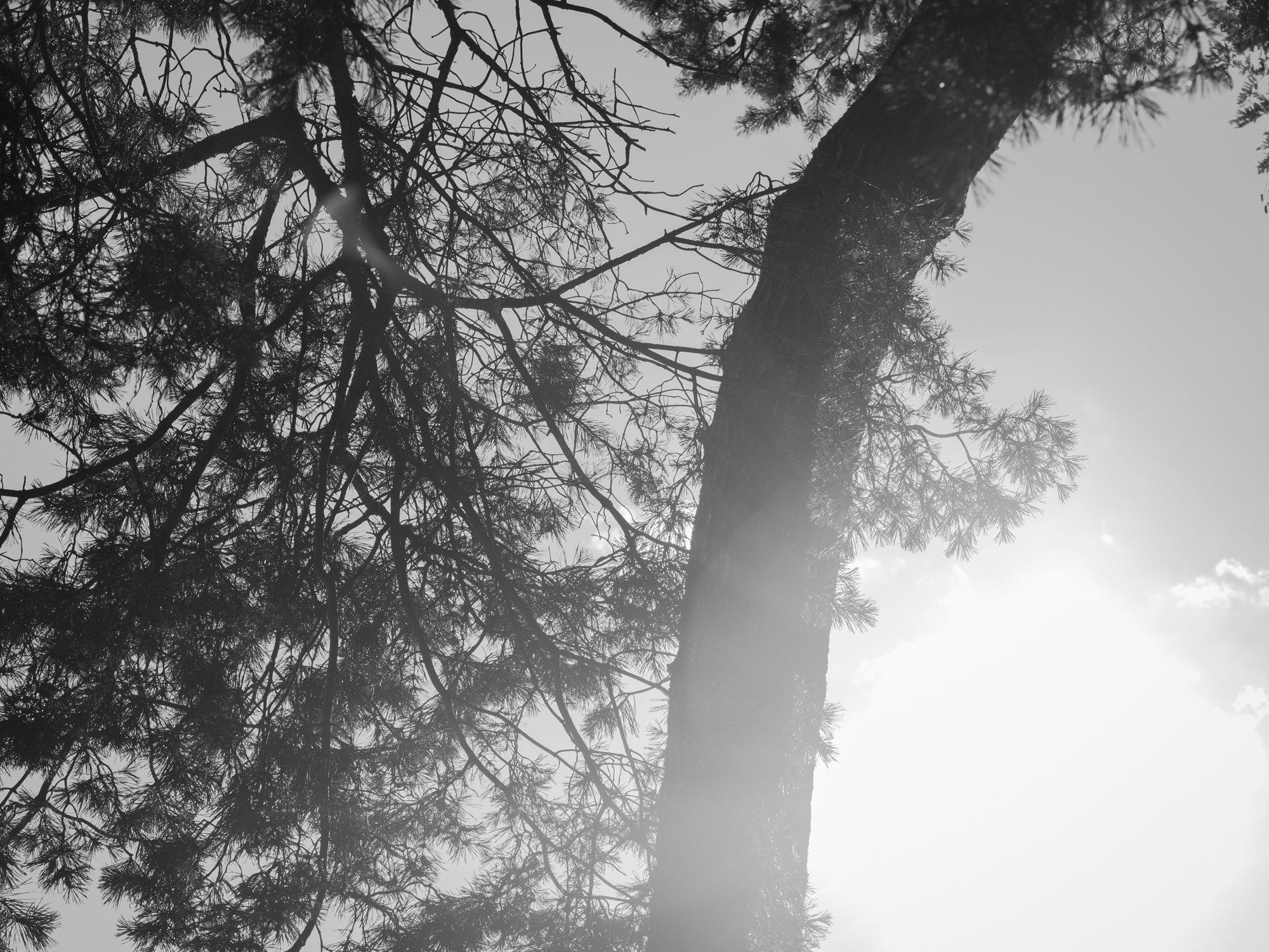 Berliinin_havupuut.JPG