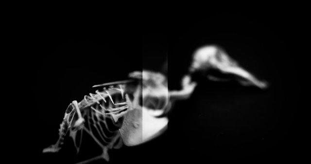 Skeleton, Willow Flycatcher (<i>Empidonax traillii</i>), Holga 120N, Kodak T-MAX 100, 2015