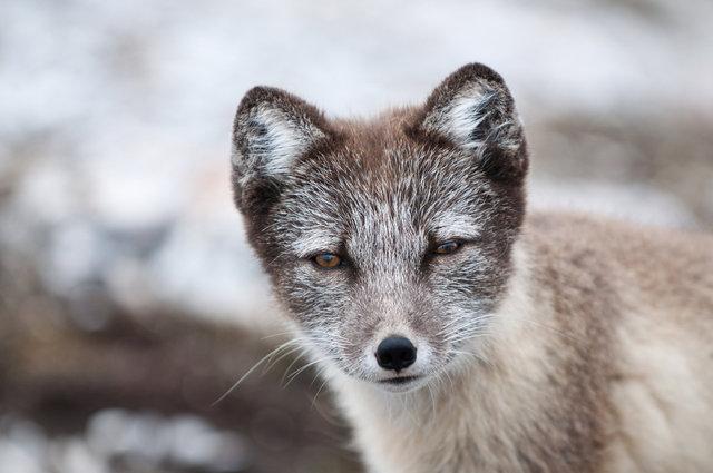 Arctic Fox #3-Alkhornet, Svalbard.jpg