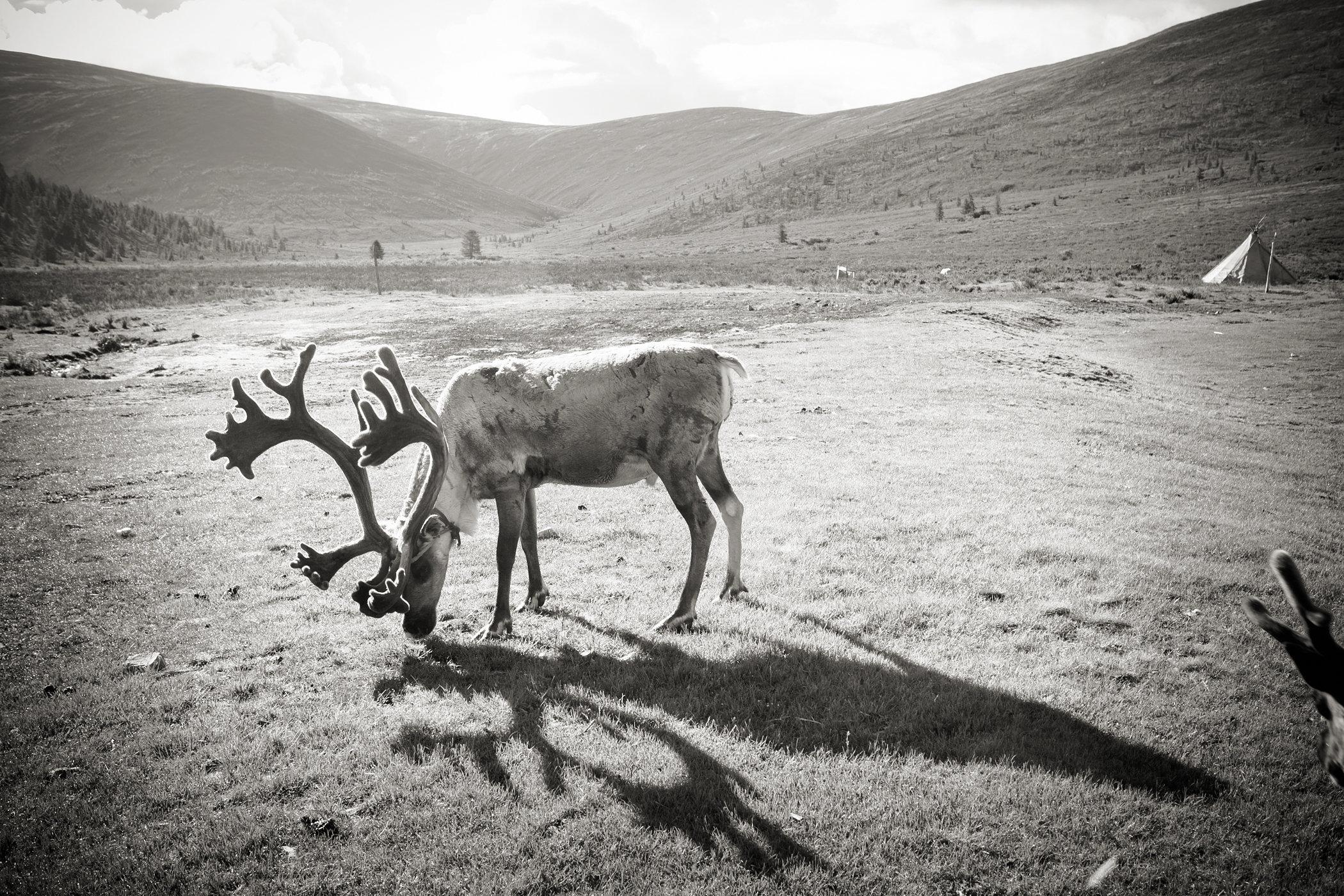 Tstaatan Reindeer II