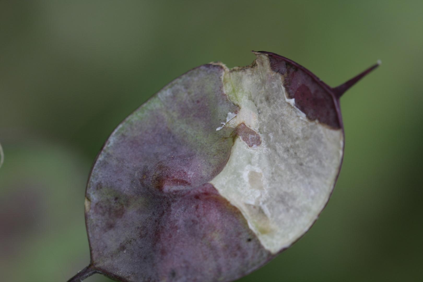 Satinflower (Judaspenning)
