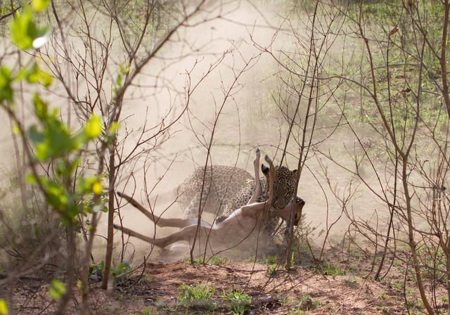 Leopard catching impala