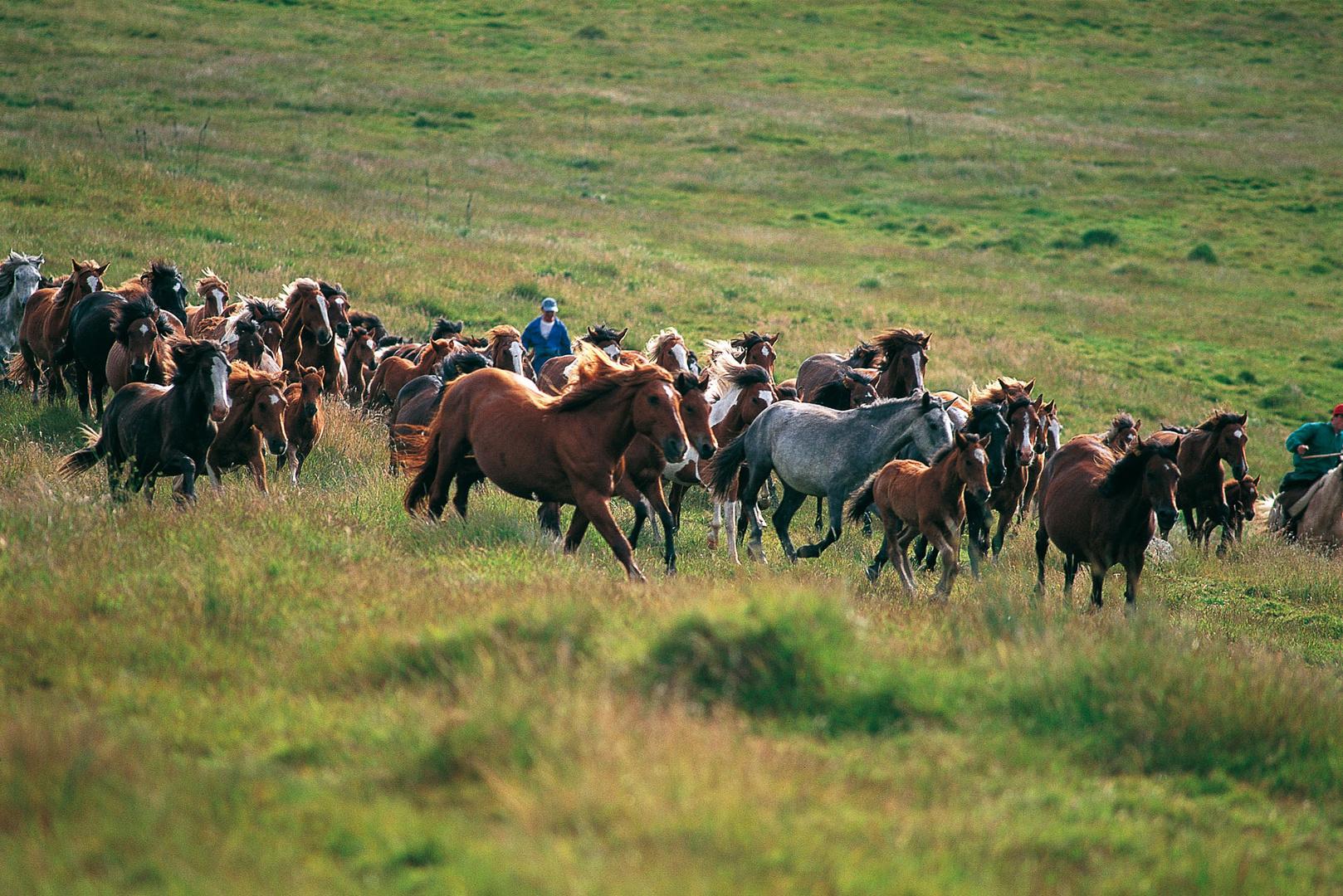 """""""Curros"""",rassemblement de chevaux savages près de Viveiro"""