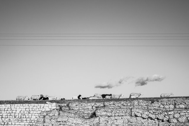 Troupeau de moutons sur la route Tajerouine- Garn Halfeya, 2014.