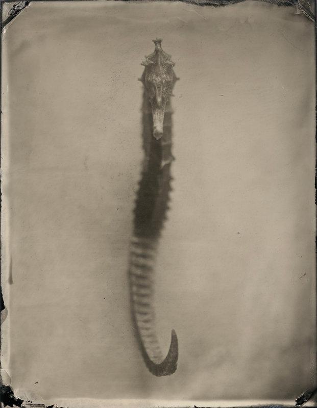 Hippocampus #11