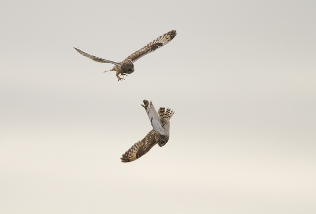 Short-eared Owls