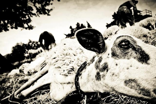 pecore_cobra-1.jpg