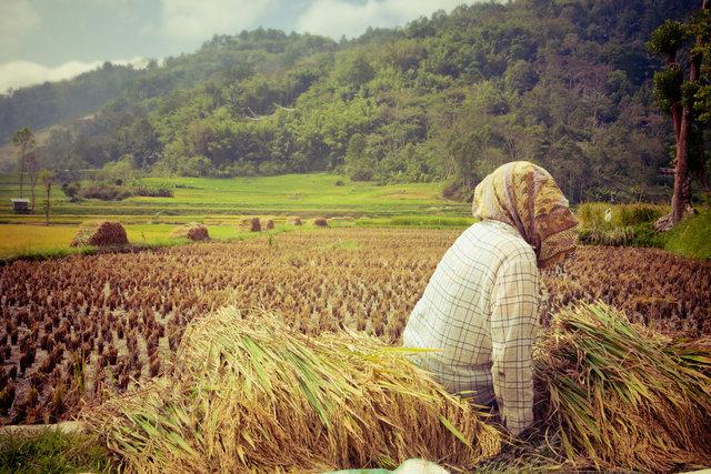 Sulawesi Rice