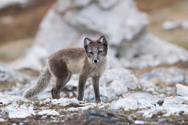 Arctic Fox #1-Alkhornet, Svalbard.jpg