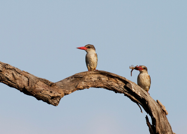 Brown-hooded Kingfisher offering scorpion