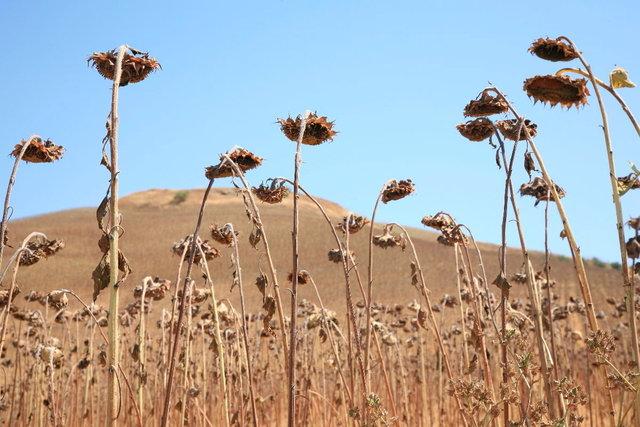 andalucia verdroogde zonnebloemen