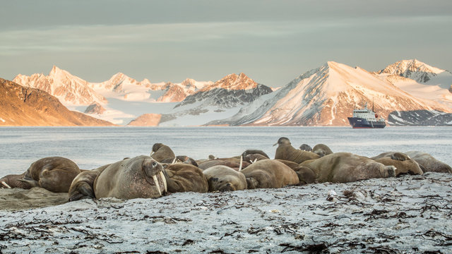 walrus colony haul-out