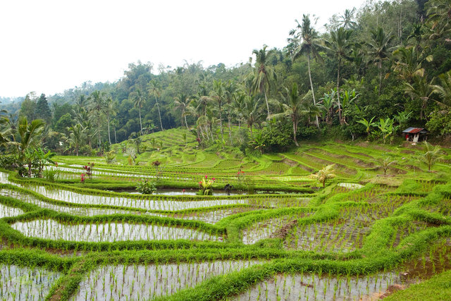 Rice Fields I