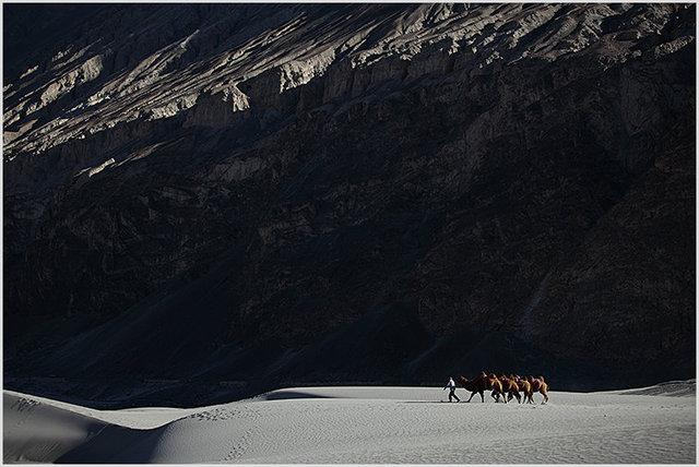 bactrian camels, hunder 2