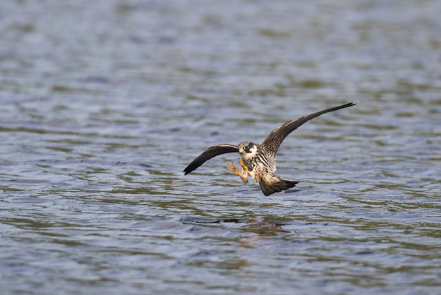 Hobby catching dragonfly