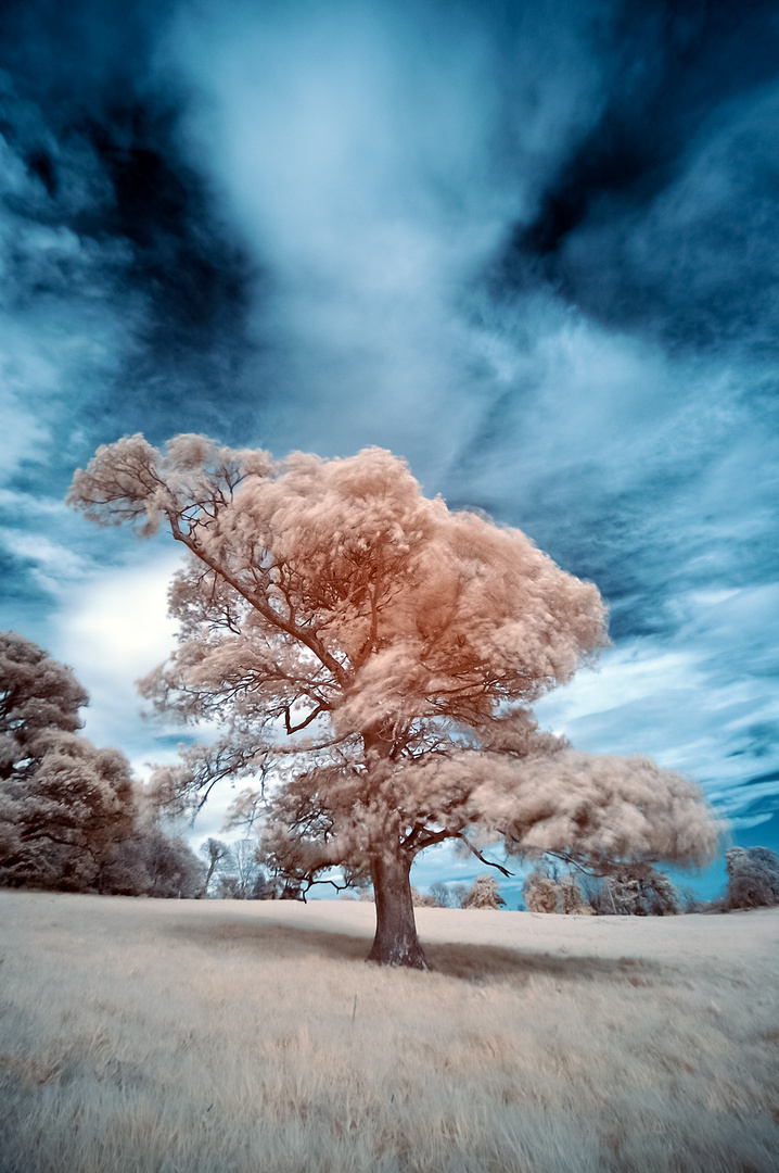 Cotton Wool Tree (Infrared)