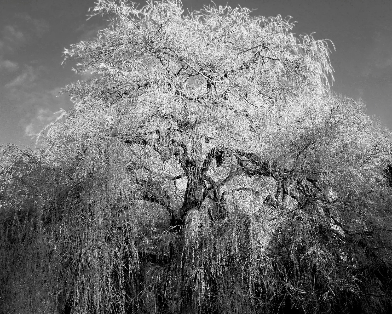 Tree-bw54.jpg