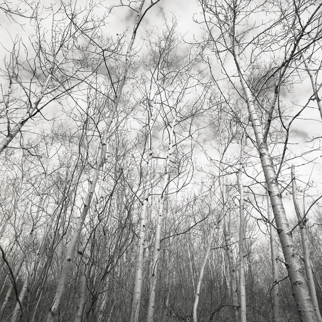 04_Alberta_Trees_1 V1_1.jpg