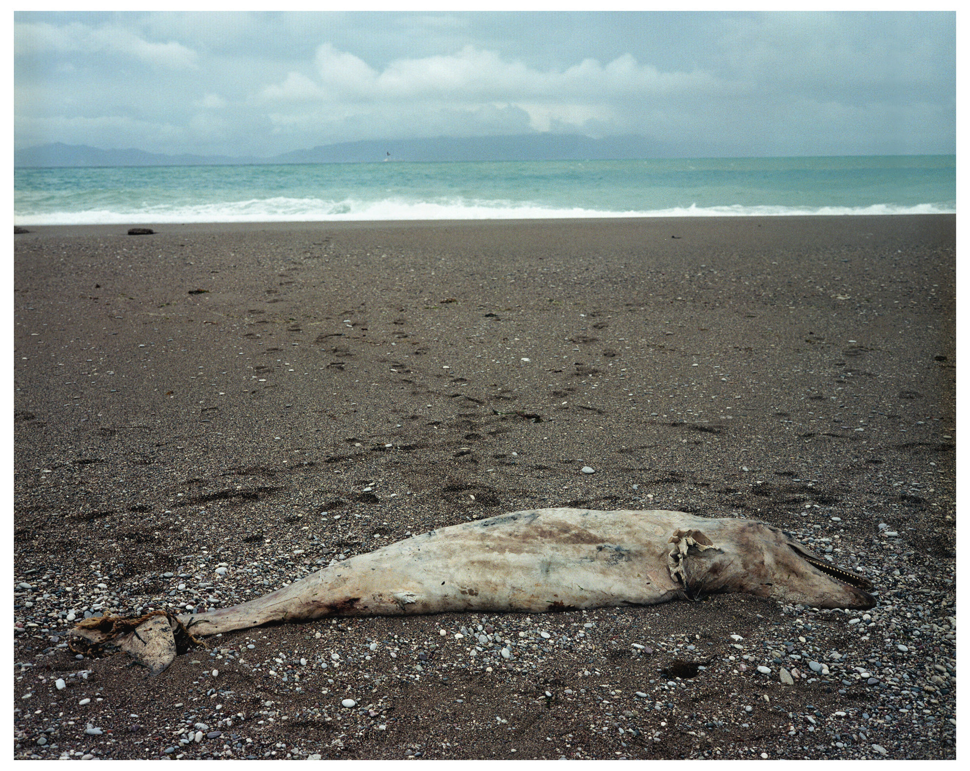 Animal Series Washed-up Dolphine.jpg