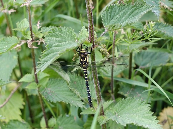 Dragonfly resting in the Nettles by a Stream by Alison  Gracie