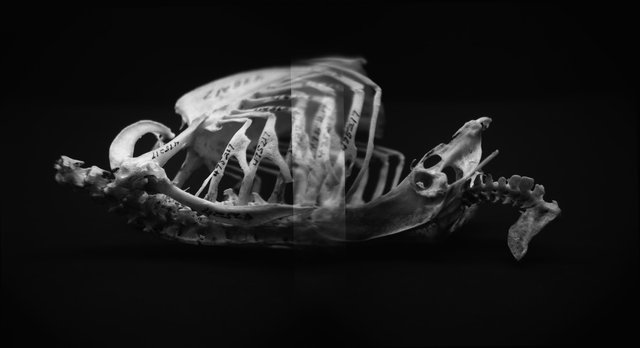 Skeleton, Red-Shouldered Hawk (<i>Buteo lineatus lineatus</i>), Holga 120N, Ilford Delta Pro 100, 2015