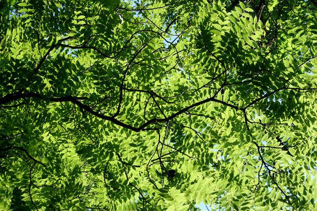 American Black Walnut Canopy
