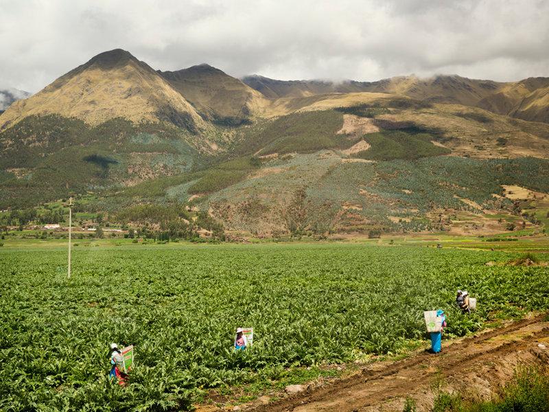 artichoke crop