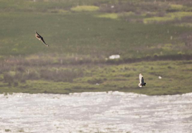 Hen harrier pursues short-eared owl with prey