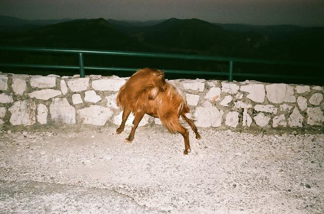 demie-chèvre sur la route.jpg