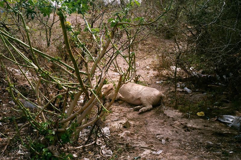 cochon dans près du lac - mexico.jpg