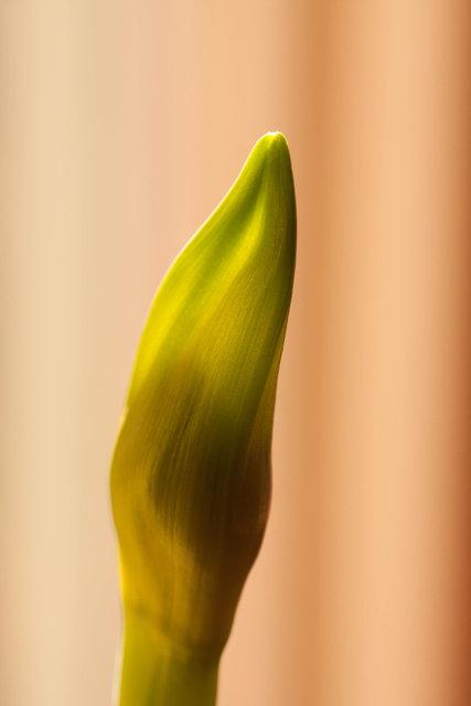 Amaryllis bud