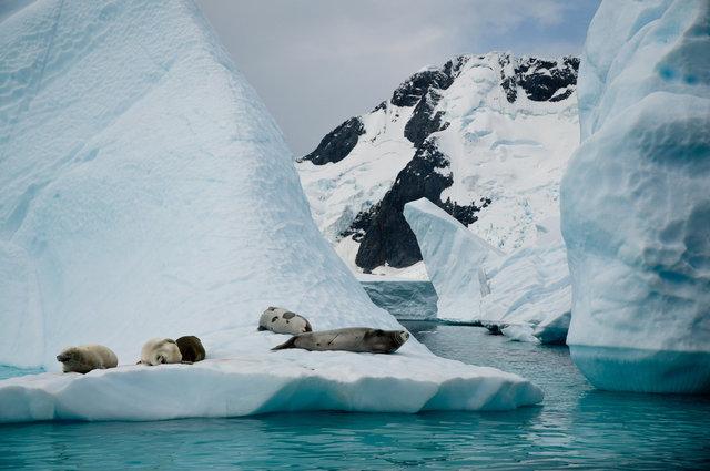 Crabeater Seals on Icberg-Pléneau, Antarctica.jpg
