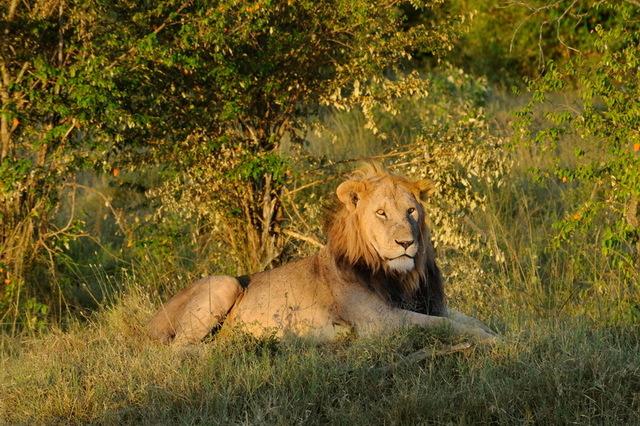 The King, Masai Mara