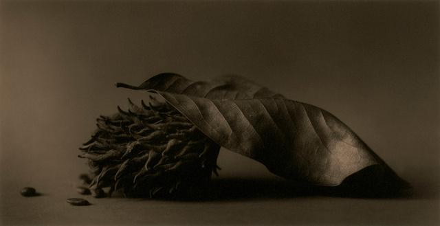 magnolia_leaf_seed_pod.jpg