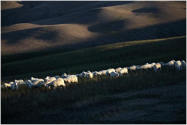 sheep of pienza