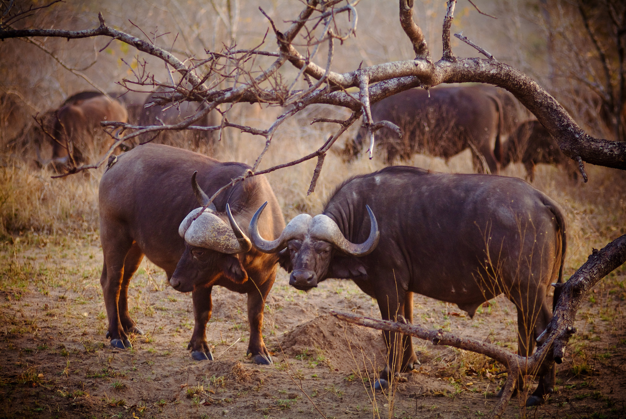 Buffalos Kruger