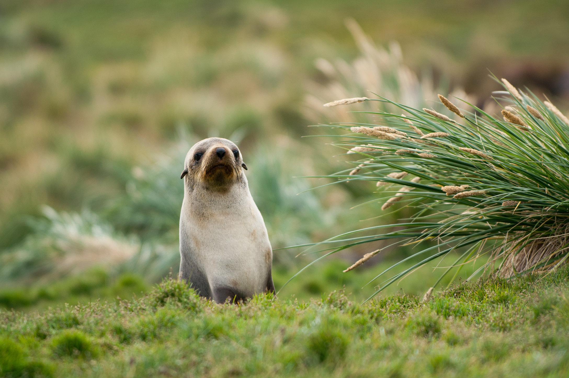 Antarctic Fur Seal-Grytviken, South Georgia.jpg
