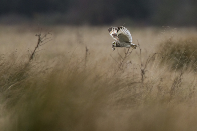 Short-eared Owl with prey