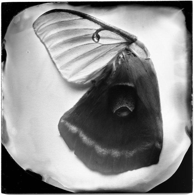 Moth Wings (female luna, male polyphemus), 19th century