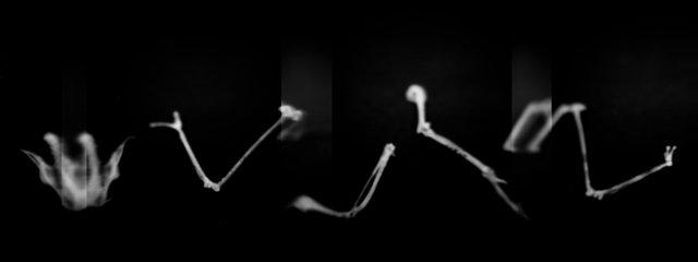 Skeleton, American Redstart (<i>Setophaga ruticilla</i>), Holga 120N, Kodak T-MAX 100, 2015