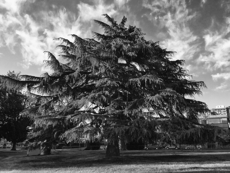 Tree-bw71.jpg