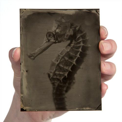 Hippocampus #26