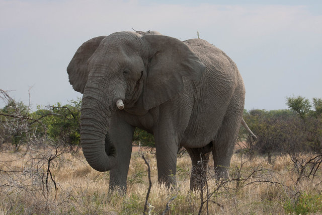 Elephant, lonely biull